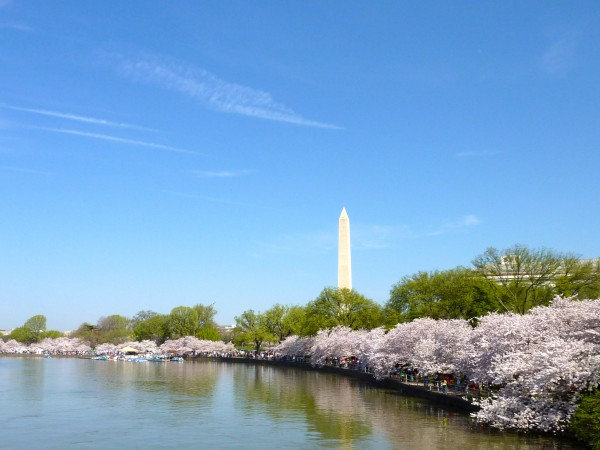 DC Cherry Blossoms 2