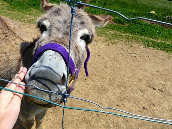 Buckland Farm Market- Donkey