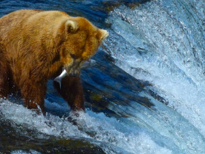 Brooks Falls- Bears catch salmon close up