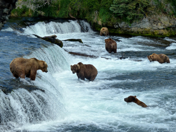 Brooks Falls- Falls with 6 bears