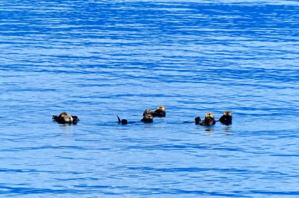 a gaggle of otters