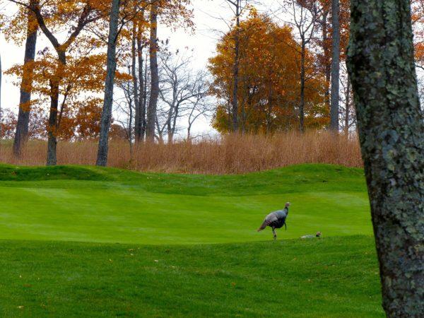 Primland- wild turkey