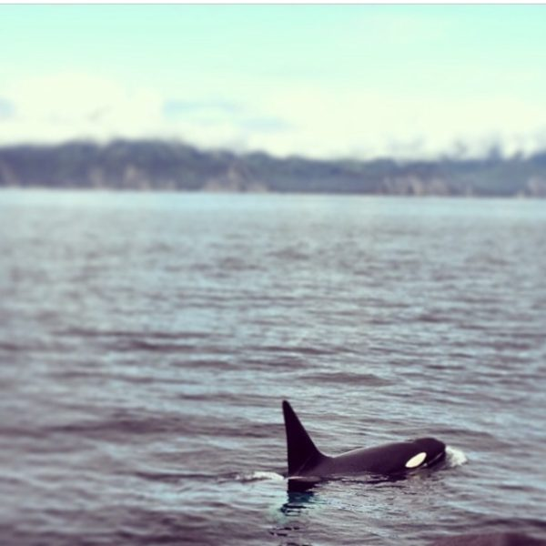 Orca in Seward