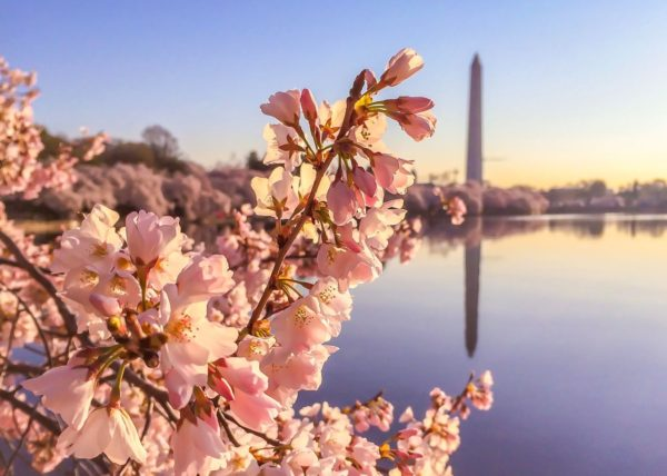 Cherry Blossoms in DC- Washington Monument in the distance
