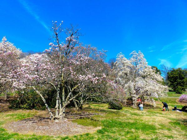 National Arboretum- magnolia grove 2