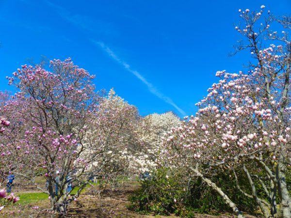 National Arboretum- magnolia grove