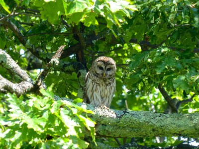 Shenandoah National Park- Owl 2
