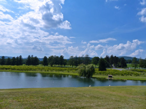 Charlottesville- Keswick Vineyards- vineyard