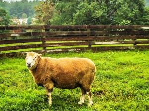 Lambstock-- Texel sheep