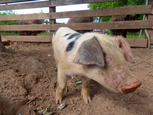 Whitmore Farm- Puccini the Pig