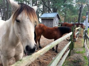 Chincoteague- Refuge Inn- Horses
